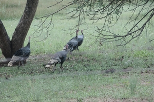 Merriam Turkey Hunts
